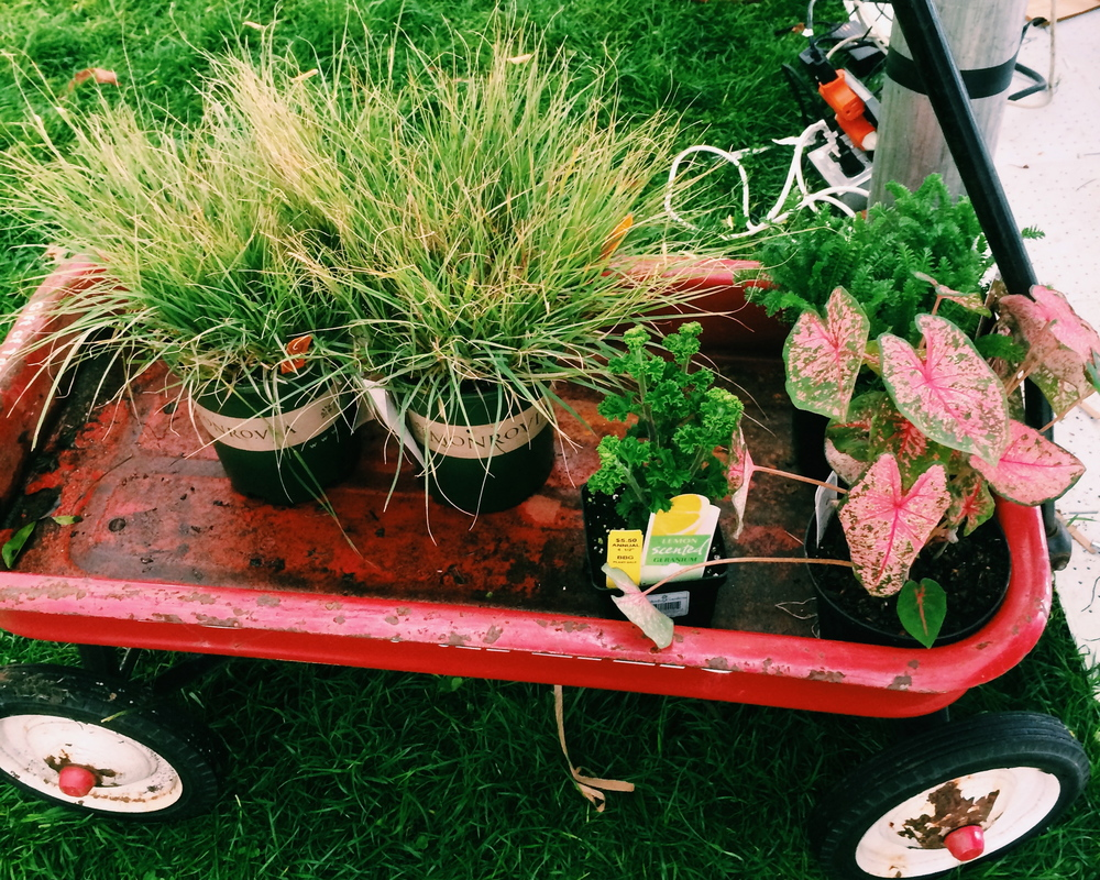 my little red wagon of plants: blue grama grass, coleus, lemon-scented geranium, and yarrow.