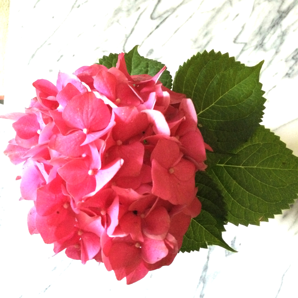 a hydrangea, because i love flowers (especially pink ones).