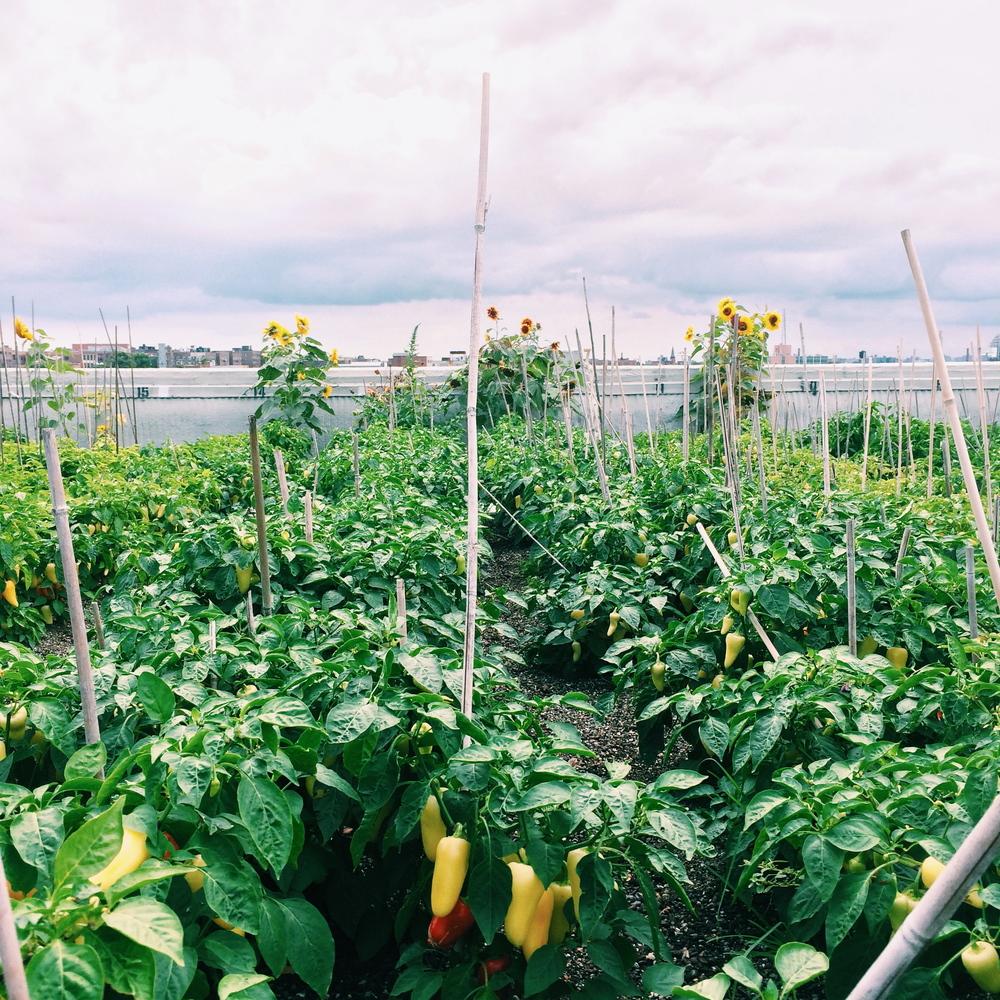 grange-peppers
