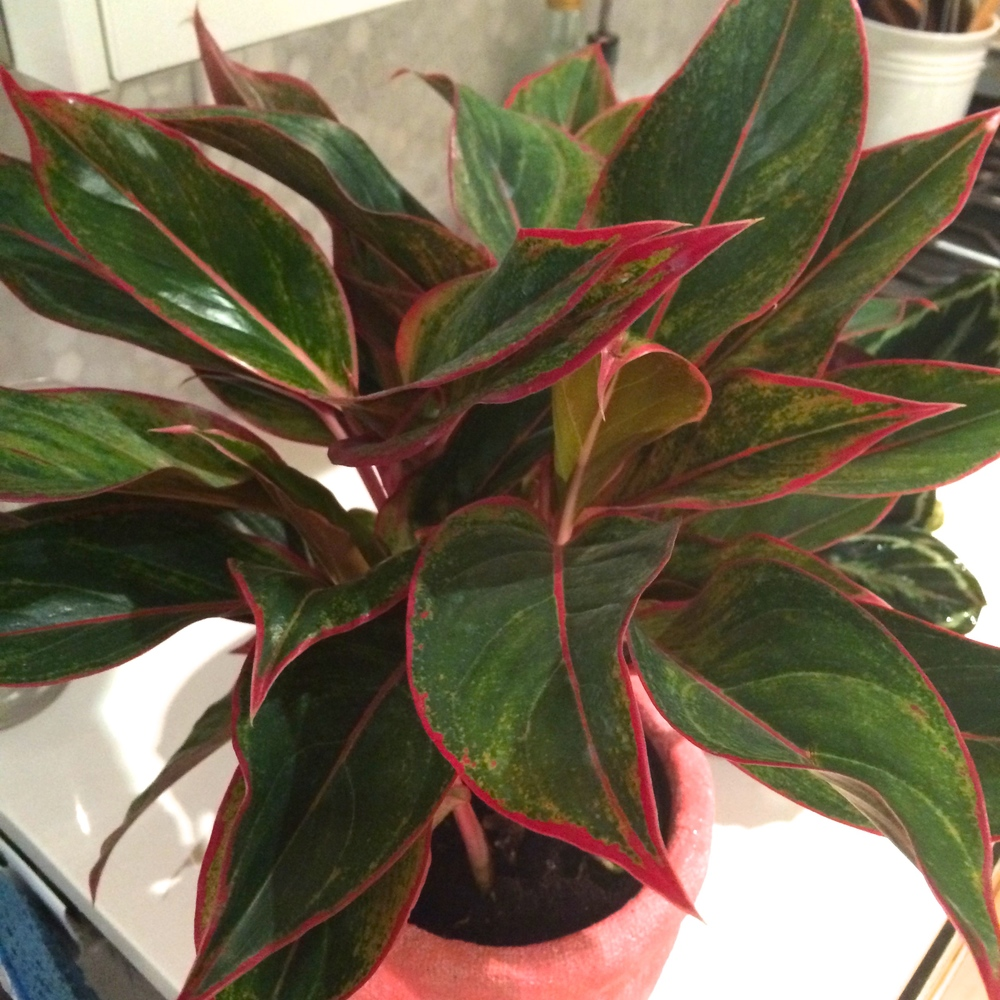 a close-up of the bright pink edges of the chinese evergreen. it went perfectly into the crinkle planter from cb2.