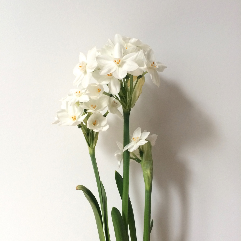 these paperwhites, which remind me that it'll soon be gardening season again.