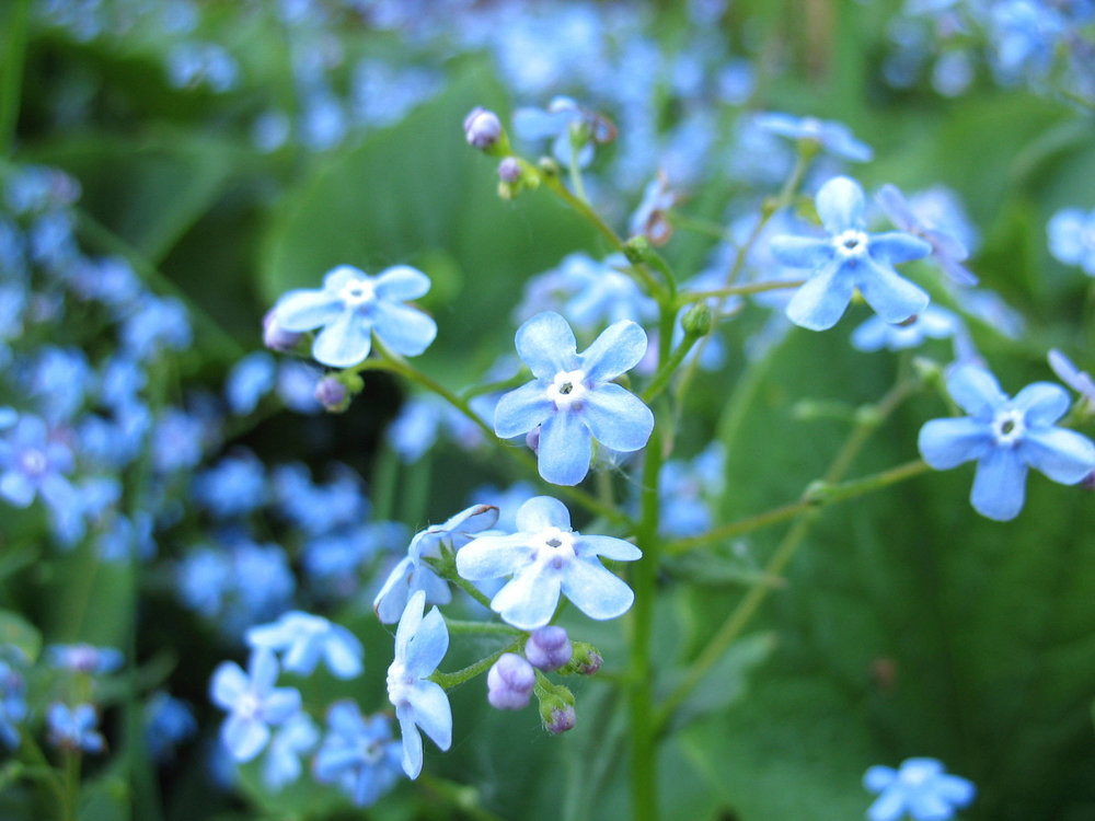 Photo: https://maxpull-tlu7l6lqiu.stackpathdns.com/wp-content/uploads/2014/08/forget-me-not-weed.jpg