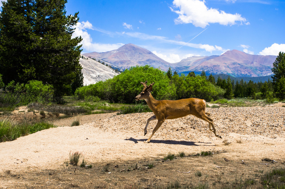 A mule deer in full velvet runs through a sandbar on the Tuolumne River in Tuolumne Meadows. Yosemite National Park, California