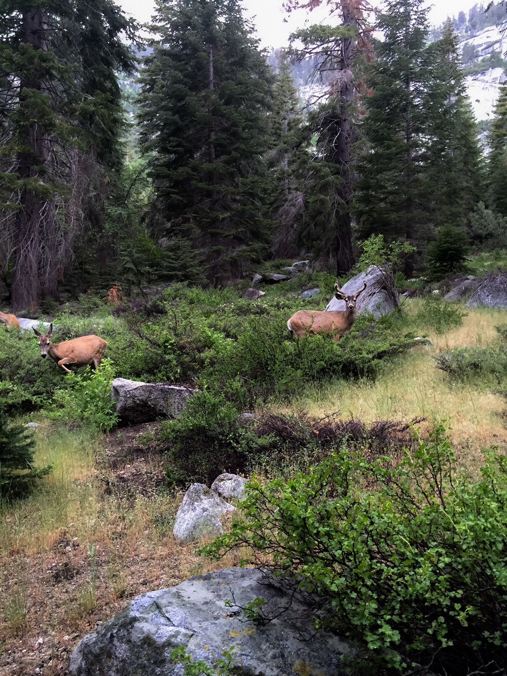 Several of the dozens of deer that call Paradise Valley home. KIngs Canyon National Park, California