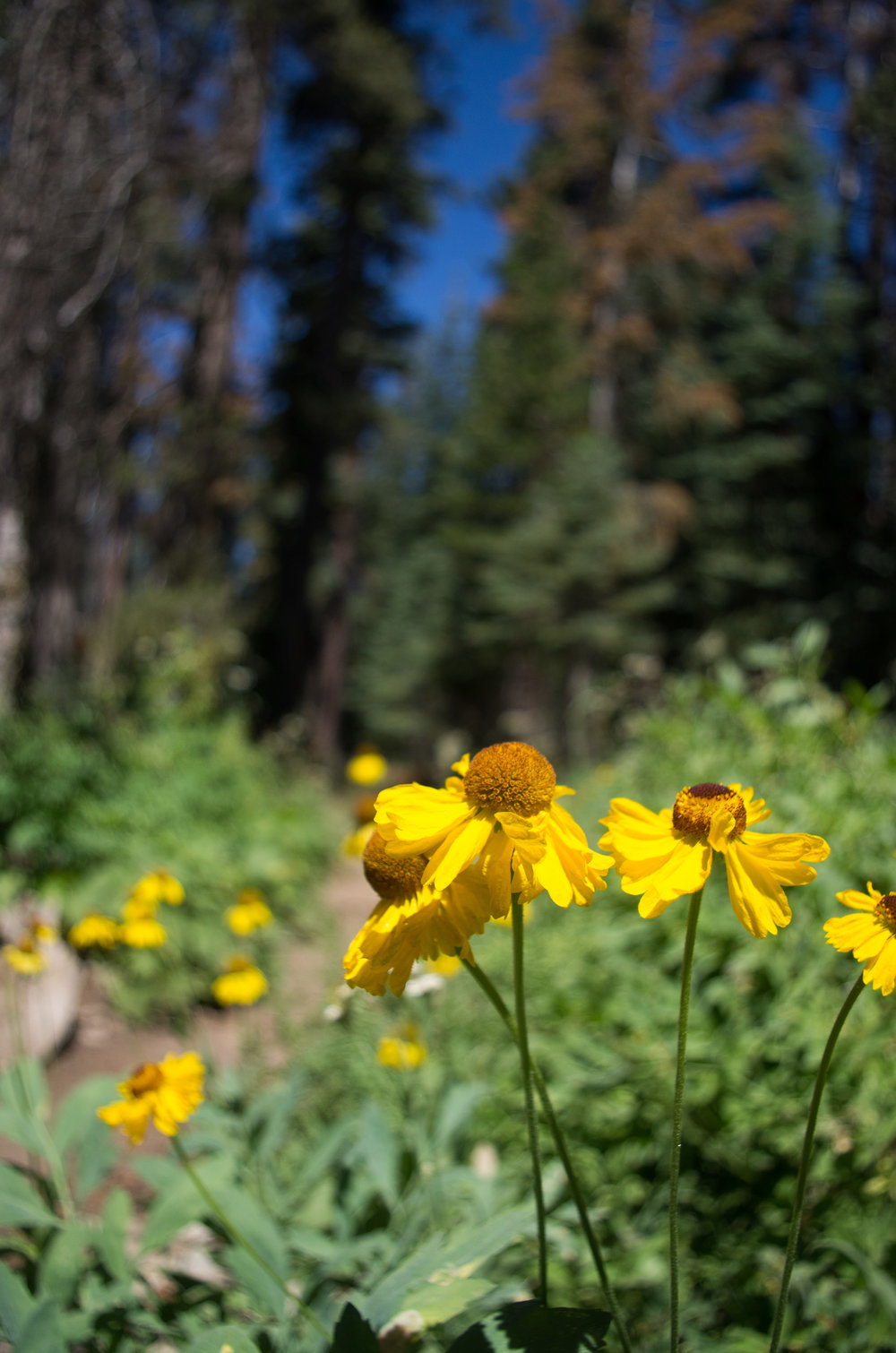 Wildflowers along the trail to Jennie Lake. Jennie Lakes Wilderness, California