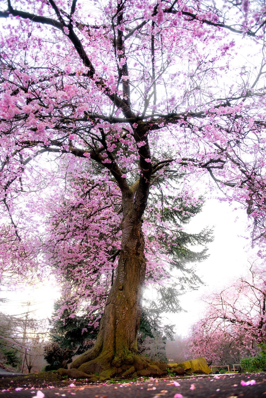 Cheery Blossom Tree.jpg