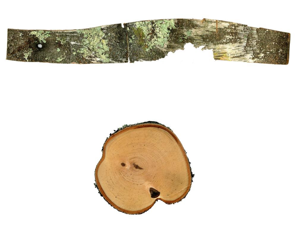 Breck_Birch 6.jpg