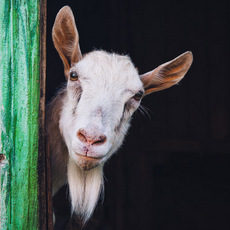 1-curious-goat-230px.jpg