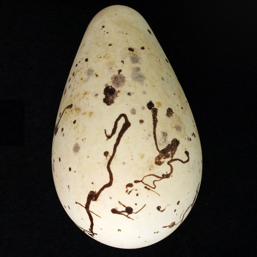 A Murre egg.  © Museum of Comparative Zoology, Harvard University/M. C. Stoddard.