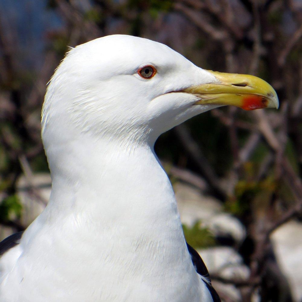 A Great Black-backed Gull on Appledore Island, ME. © M. C. Stoddard.