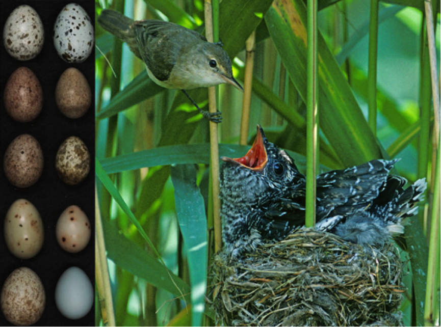 Common cuckoos sneak their eggs into the nests of other species. Cuckoo eggs (left-hand column) are often, but not always, an excellent match (to a bird's eye) to eggs laid by host birds (right-hand column). A Common Cuckoo chick begs for food from its foster parent, a Reed Warbler. Photo credit: D. Kjaer (cuckoo chick) and M. C. Stoddard (eggs), copyright of the NHM. From Stoddard 2012 .