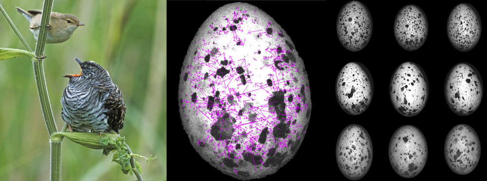 Using a new pattern recognition tool, NaturePatternMatch, we showed that host birds have evolved individual egg pattern signatures, which allow them to distinguish their own eggs from those of a cuckoo cheat. NaturePatternMatch extracts visual features, here represented by magenta vectors (center). Three eggs each (represented in different rows) laid by three different Great Reed Warblers are shown here (right). Photo credits:  David Kjaer (left) and Mary Caswell Stoddard/Natural History Museum, UK (center, right).