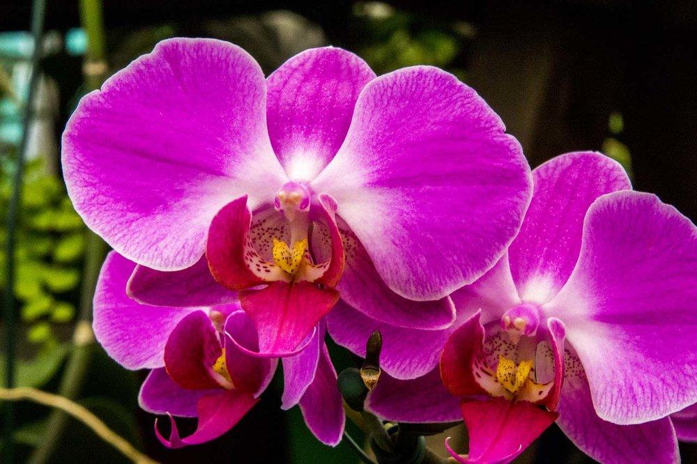 Purple Orchid.jpg