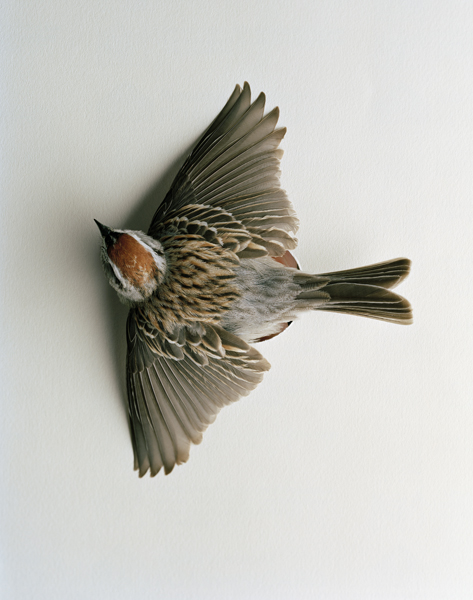 The Essence of Man, 2011. Chipping Sparrow. Black Rock Forest, Cornwall, New York