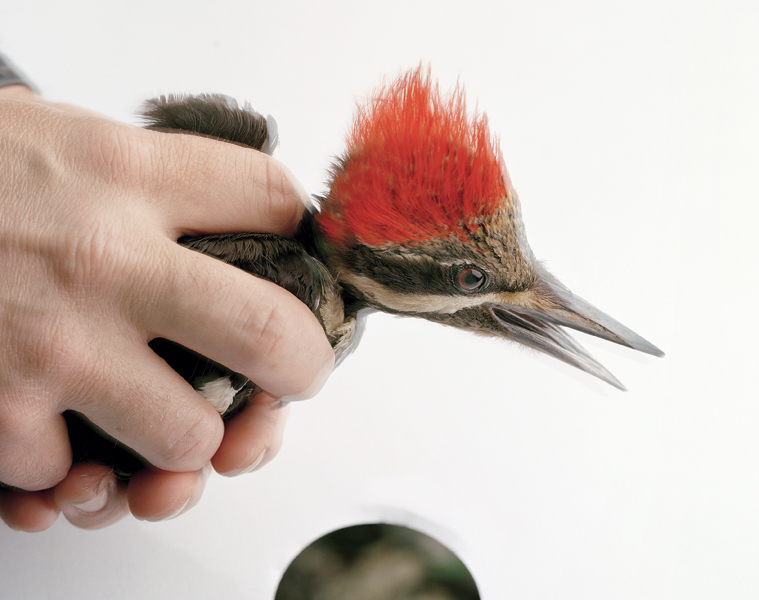 Untitled, 2011. Pileated Woodpecker. Cold Spring, New York