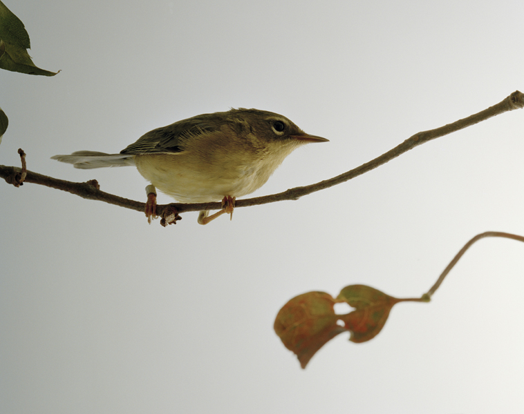 Untitled, 2011. Blackpoll Warbler. Manomet, Massachusetts