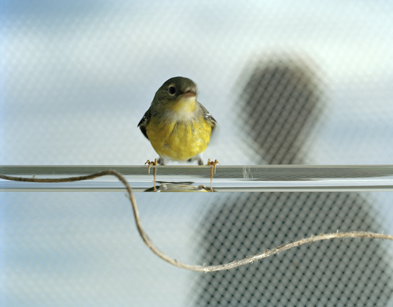 Untitled, 2011. Magnolia Warbler. Manomet, Massachusetts