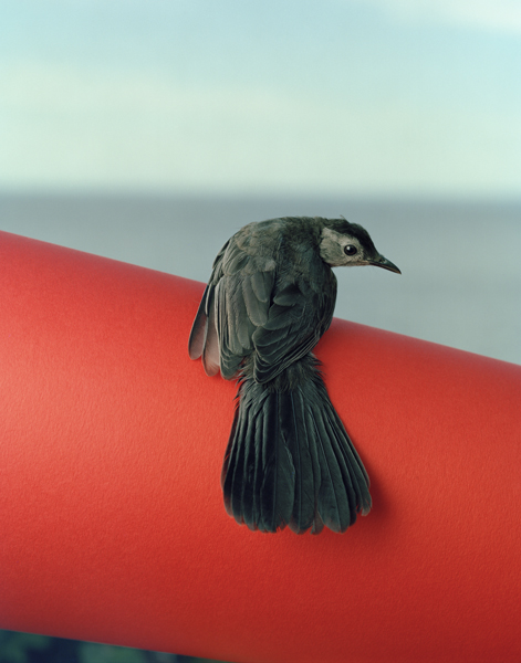 Untitled, 2013. Gray Catbird. Manomet, Massachusetts