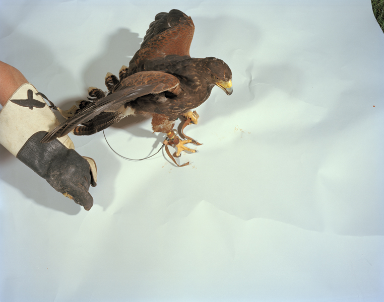 Mantle, 2011. Harris Hawk. Pleasantville, New York
