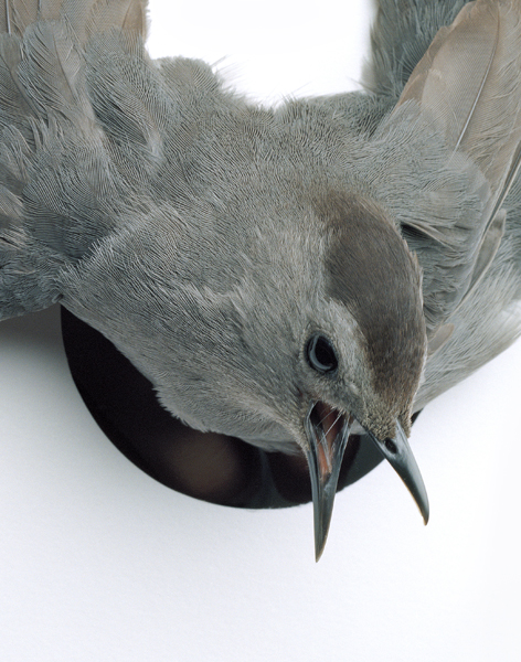 Untitled, 2011. Gray Catbird. Cold Spring, New York