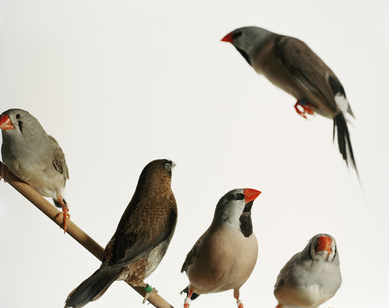 Untitled, 2011. Bengalese Finches. Columbia University, New York City, New York