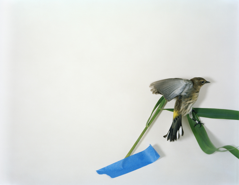 Untitled, 2011. Yellow-Rumped Warbler. Manomet, Massachusetts