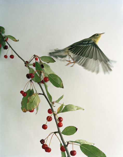 Untitled, 2011. Blackpoll Warbler. Manomet Center for Conservation Sciences. Manomet, Massachusetts