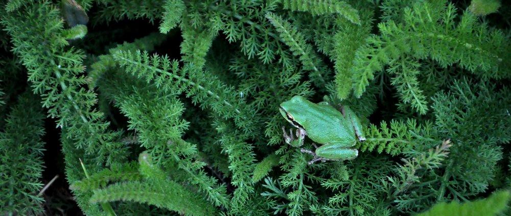 Yarrow frog.jpg