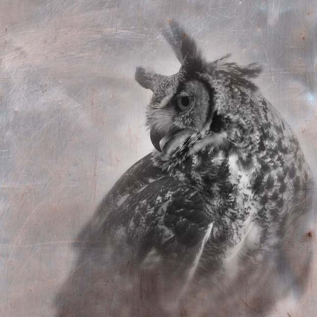 great horned owl -resting