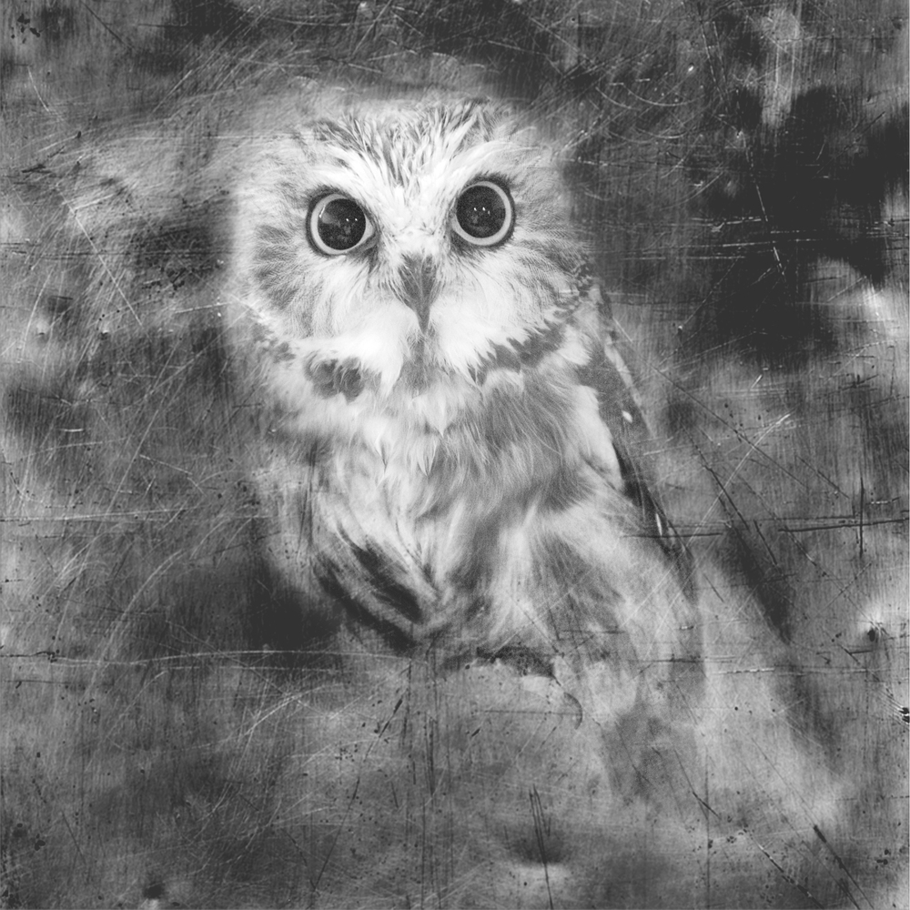 saw whet owl - snoopy