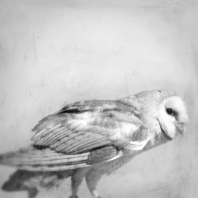 barn owl colette - repose