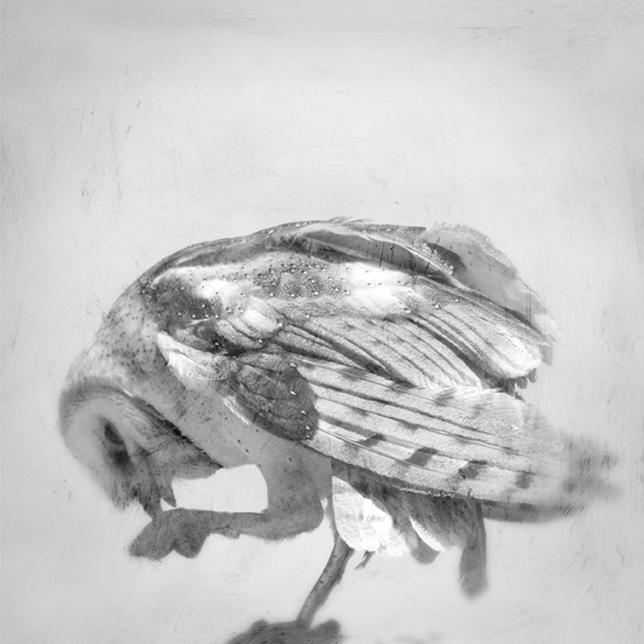 barn owl tina - respite