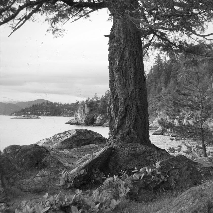 lighthouse park tree
