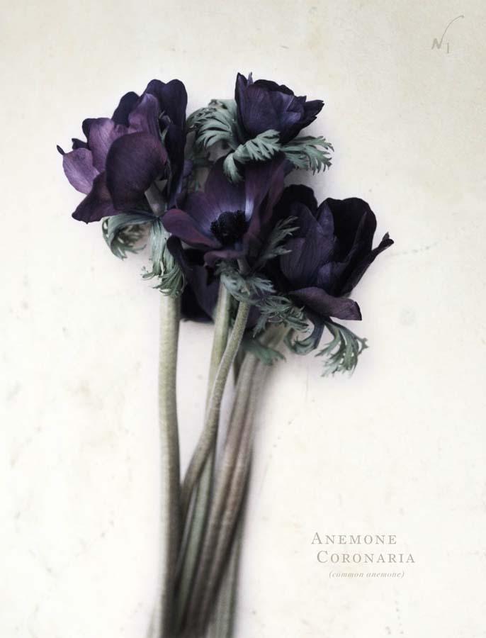antique les fleurs - anemone