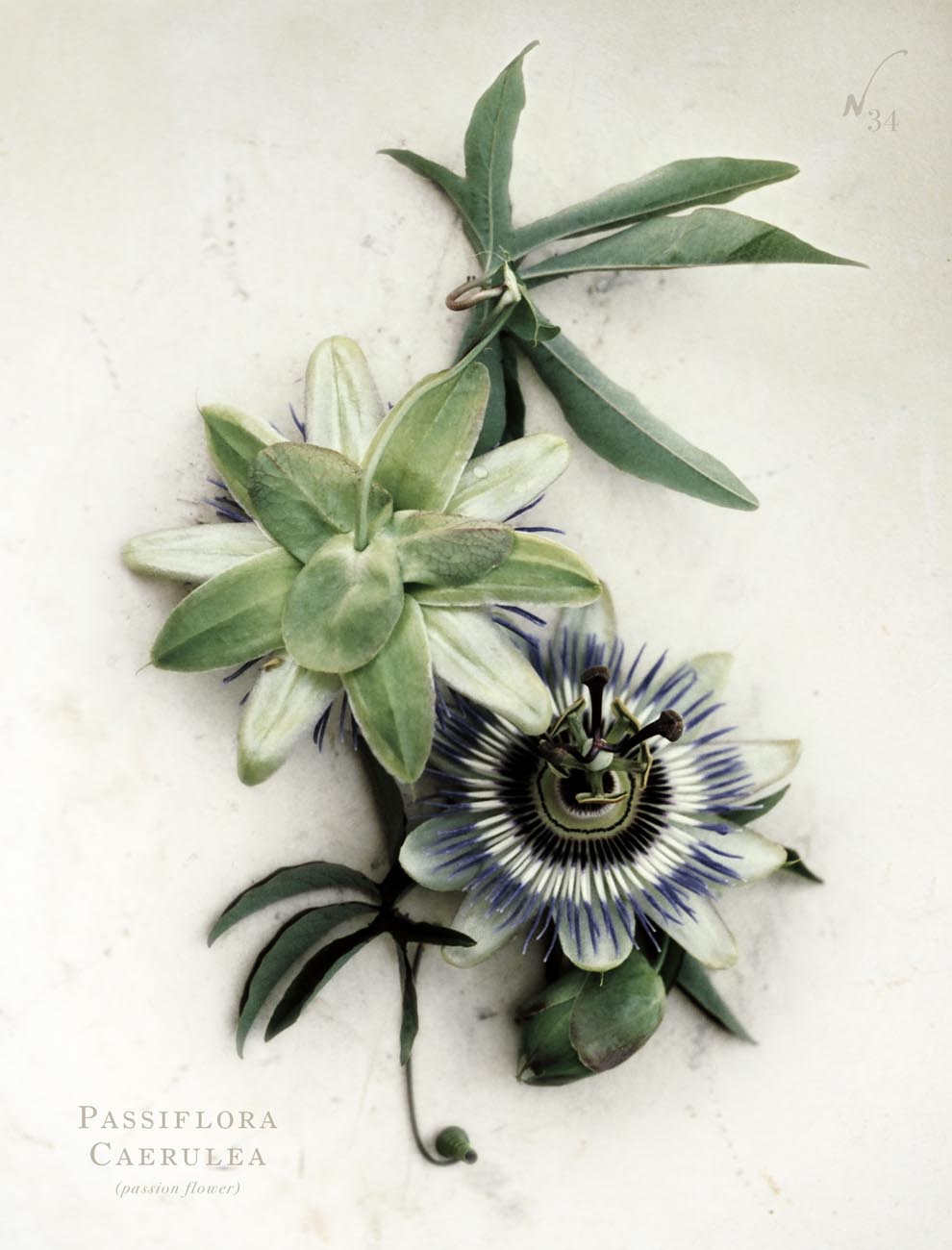 antique les fleurs - passiflora