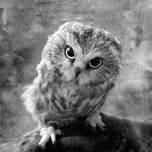 "saw whet owl - snoopy - ""what?"""