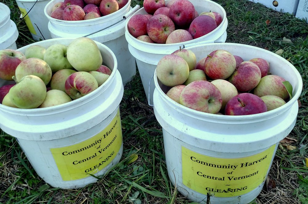 Lots of beautiful apples gleaned from VTC Orchard