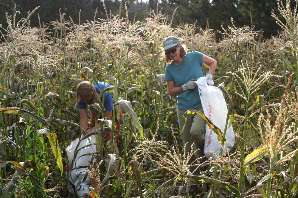 Glean Corn.JPG