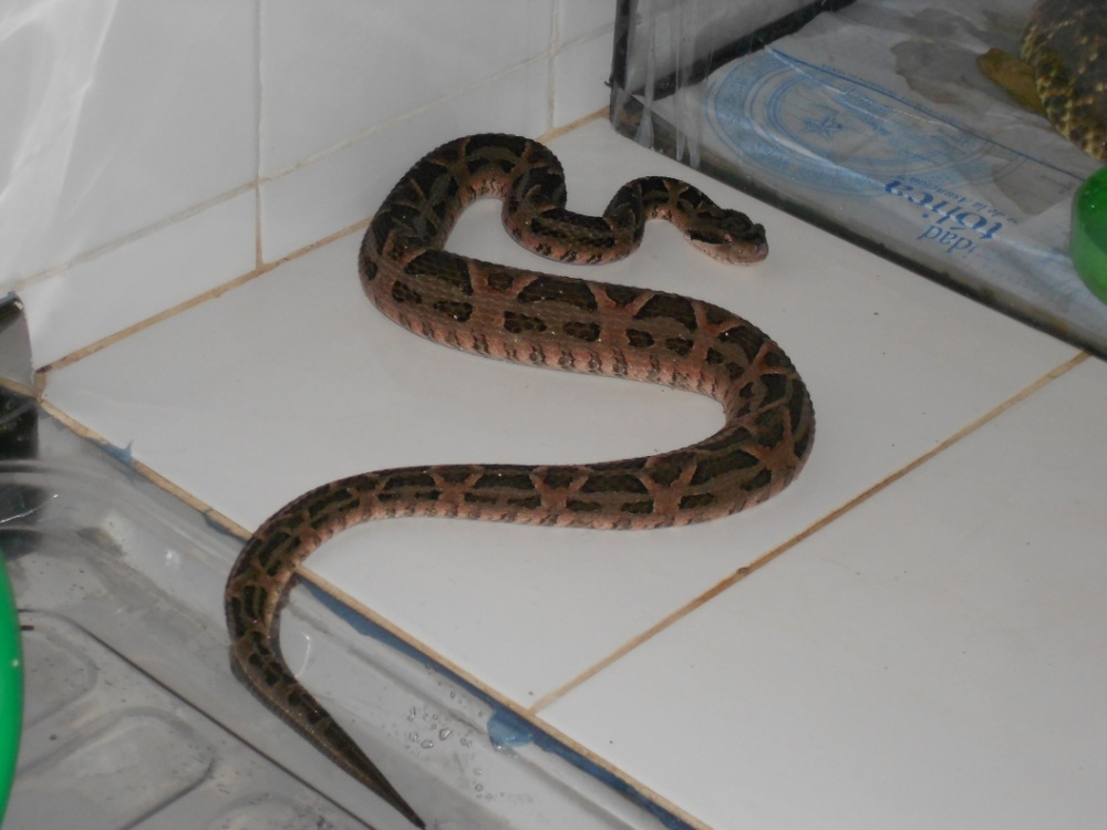 Bothrops diporus.jpg