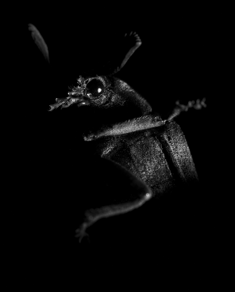 beetle with feather antennae (1 of 1) copy.jpg