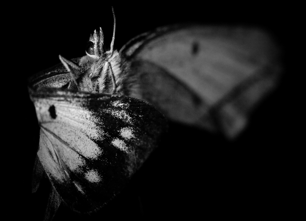 yellow moth copy.jpg