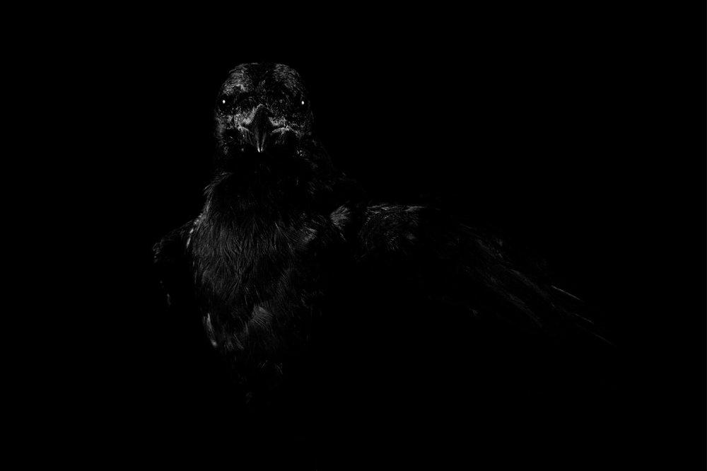 crow copy.jpg