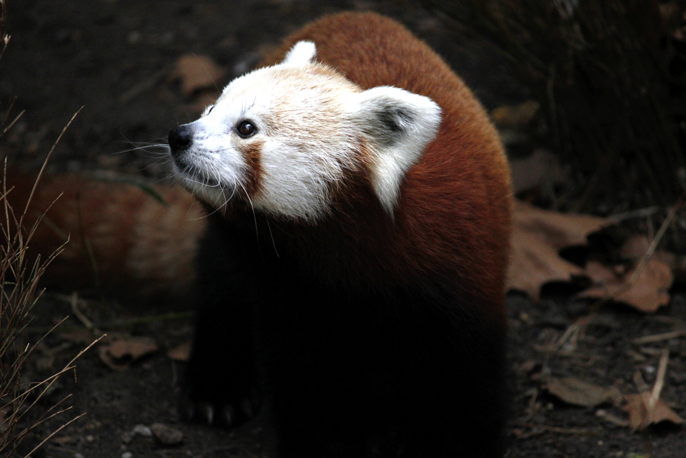 Red Panda at the Central Park Zoo, New York