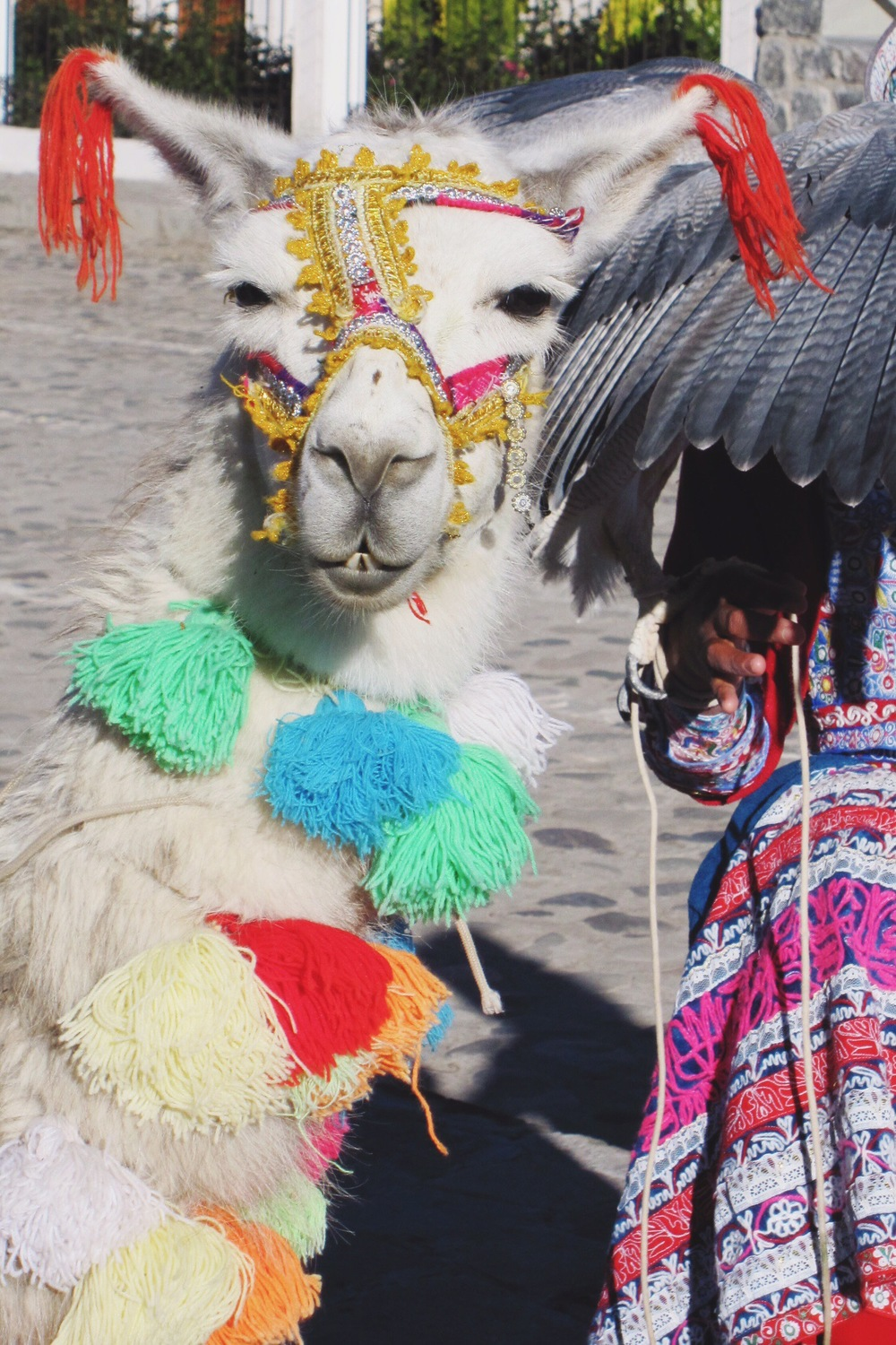 Best dressed llama in Yanque