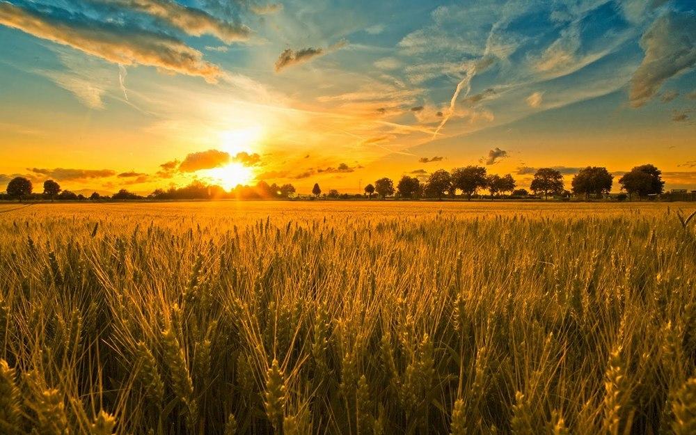wheatharvestc.jpg