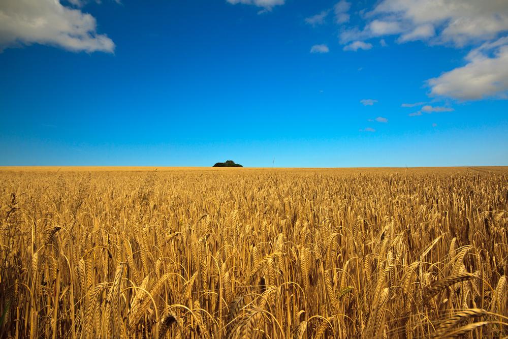 barley_sunshine.jpg