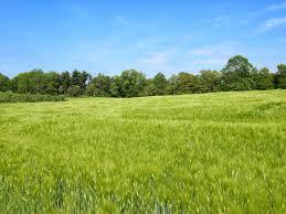 green_barley.jpg