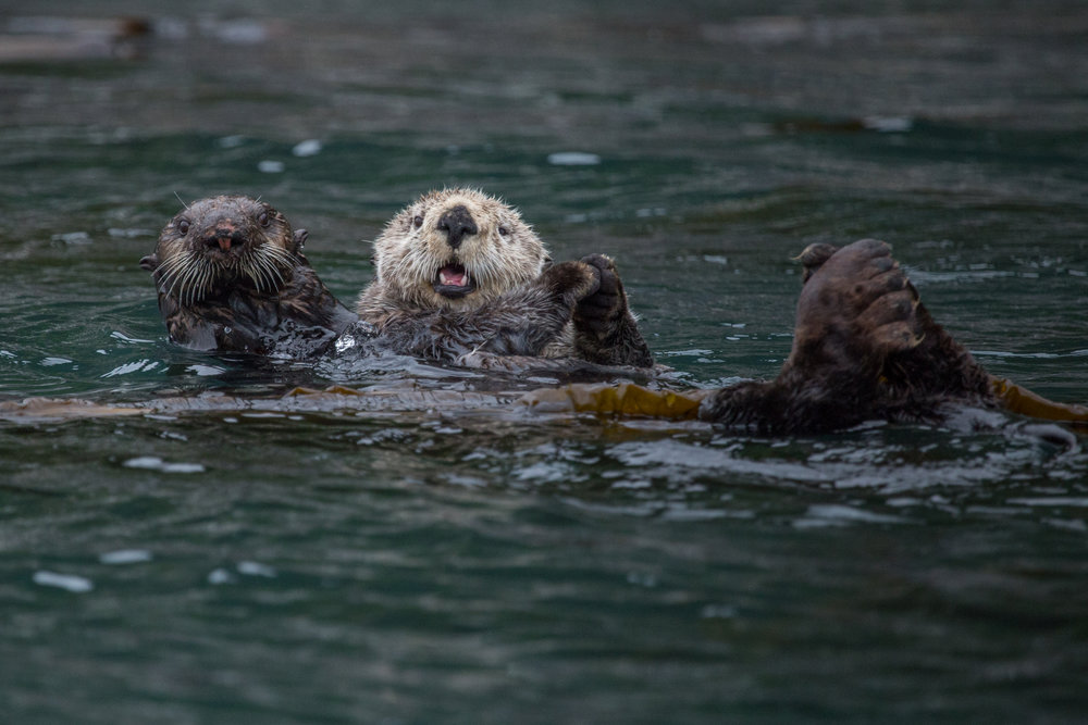 Sea Otters wrapped in kelp in Alaska's Inside Passage.