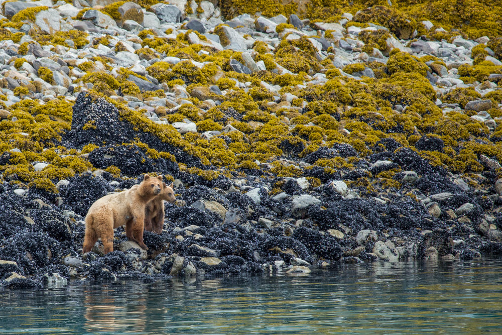 A coastal brown bear sow and cub forage for barnacles, mussels, and worms on the shoreline of Glacier Bay National Park.