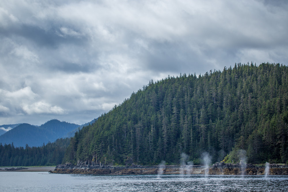 Seven humpbacks feeding along the shores of Chatham Strait in Southeast Alaska